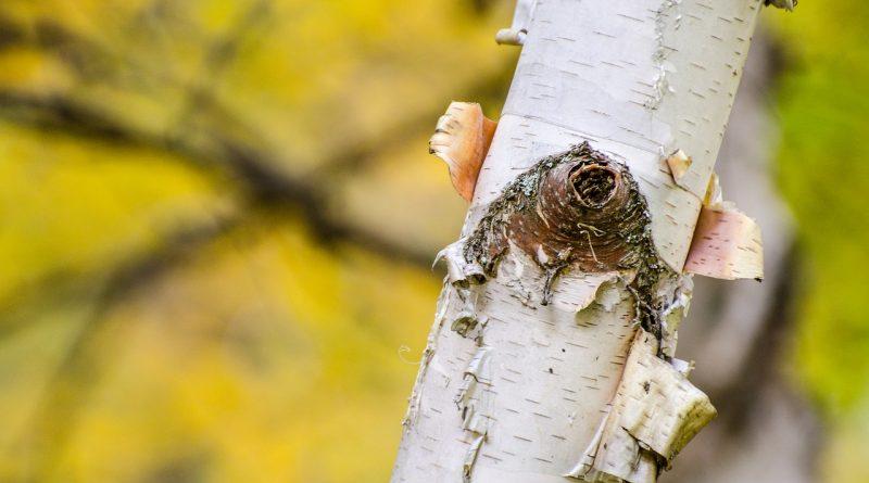 7 Bomen en heesters met opvallende stam in de winter