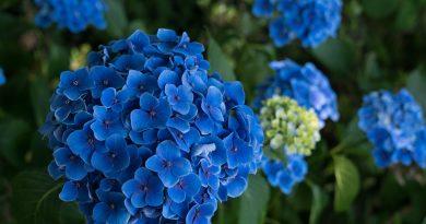 Blauwe Hydrangea - Heesters voor zure grond
