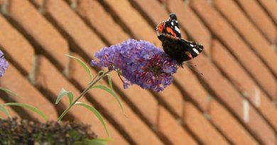 Kan vlinderstruik in de schaduw? - Tuinvragen