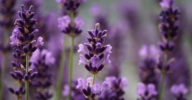 Kan ik mijn lavendel terugsnoeien voor een tweede bloei?