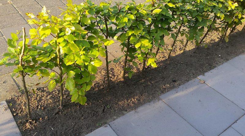 Hoeveel haagplanten per meter?