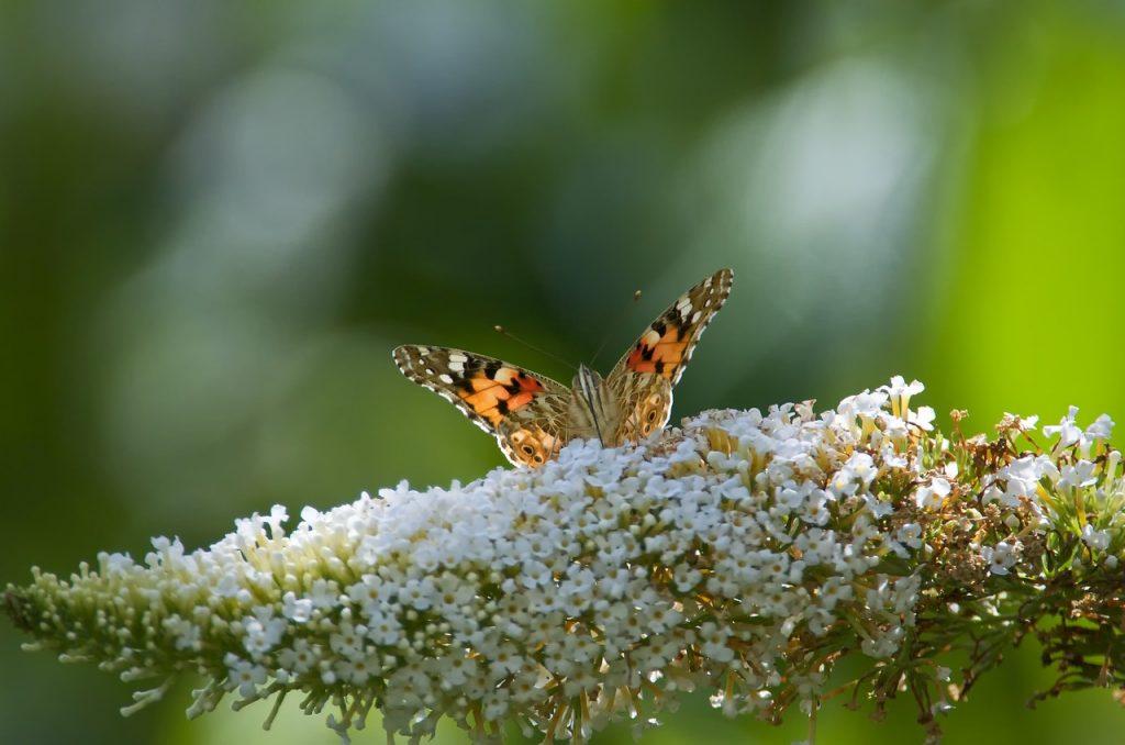 Hoe vermeerder je een vlinderstruik?