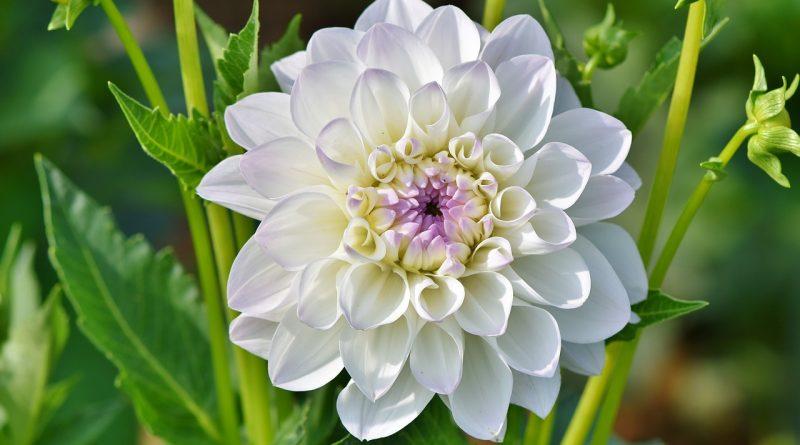 Waarom bloeit mijn Dahlia niet?