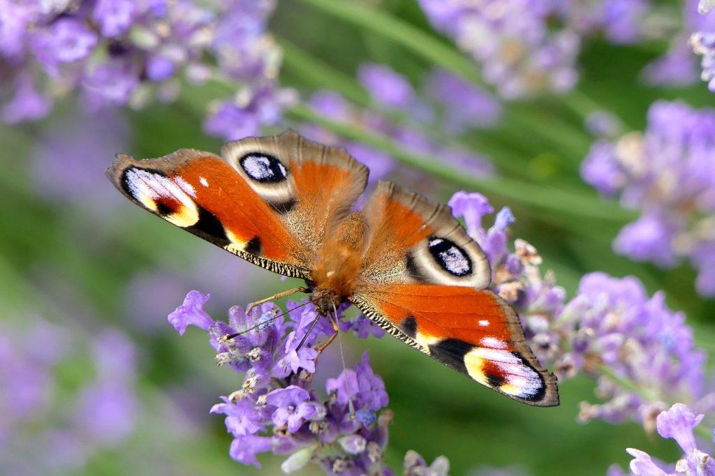 Welke planten trekken veel vlinders aan?
