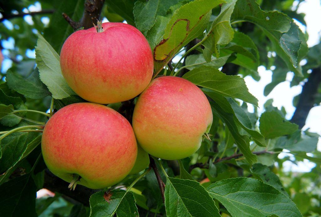 Wanneer is appel rijp om te plukken? - Wanneer is peer rijp om te plukken?