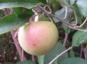 Meest gelezen Tuinblogs - Wanneer kan je appels plukken?