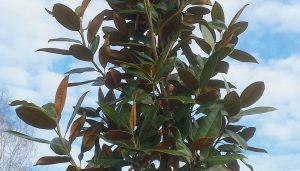 Welke bomen blijven groen in de winter? (wintergroen)