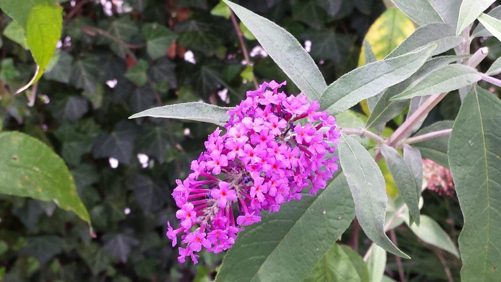 Hoe vlinderstruik snoeien en wanneer?