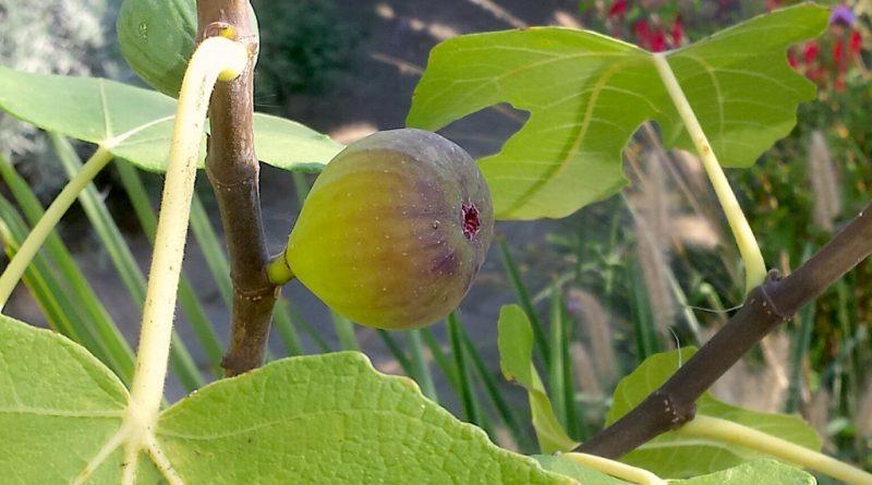 Welke vijgen zijn goed winterhard? Ficus carica