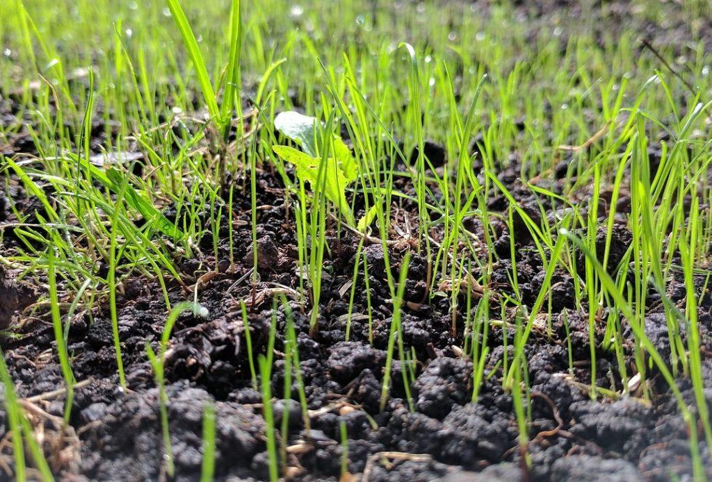 Wanneer gras zaaien?