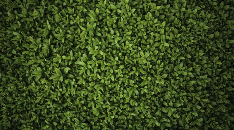 Welke haag plant groeit snel?