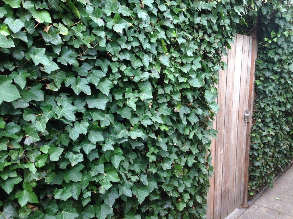 Wintergroenen klimplanten - Hedera