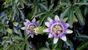 Wintergroene klimplanten - Passiflora