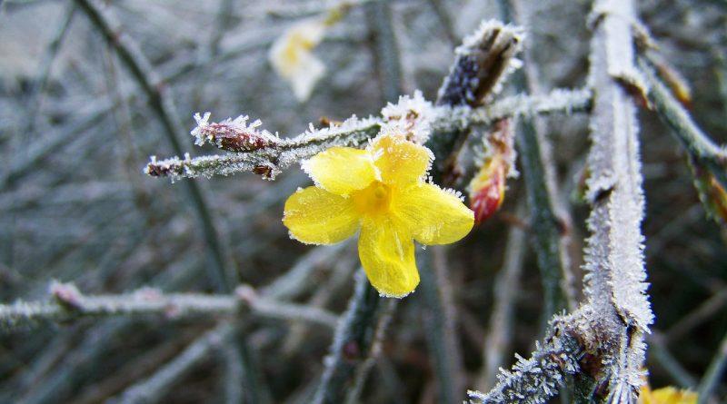 Winterbloeiers in de tuin - winterbloeiend