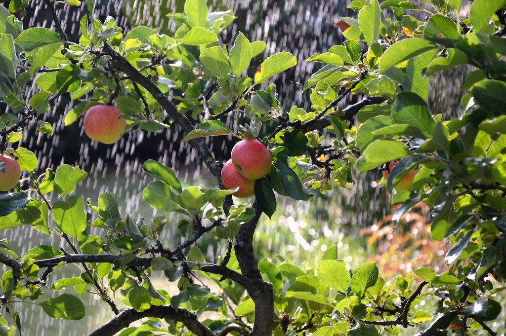 Hoe hoog is een halfstam fruitboom?