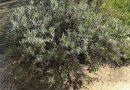 Lavendel snoeien: Wanneer en hoe?