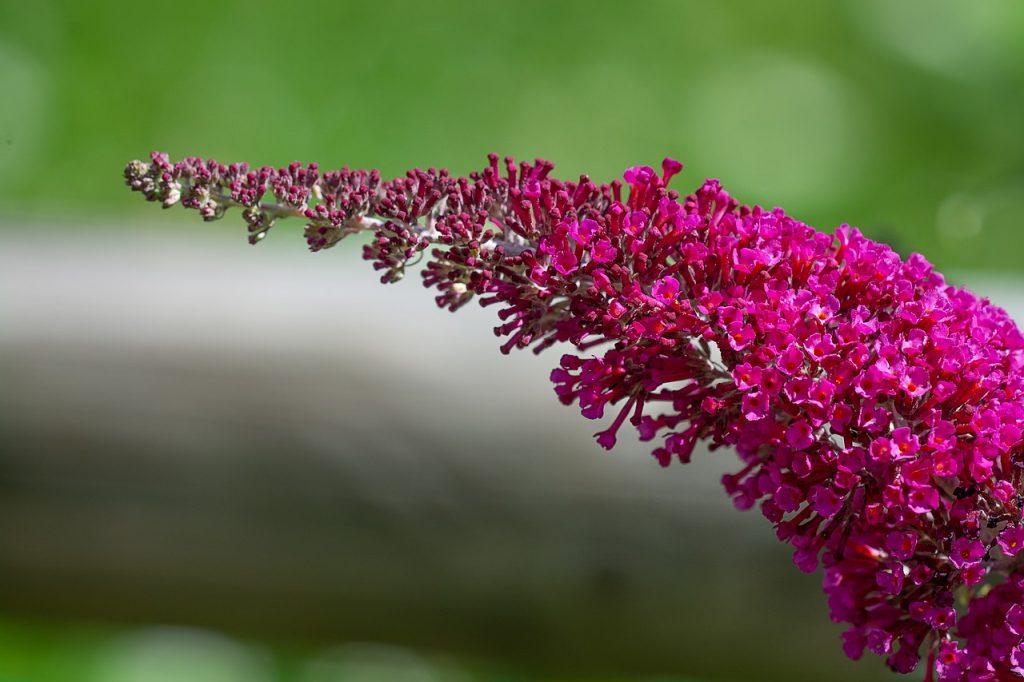 Is er ook een rode Vlinderstruik (Buddleja)?