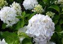 Wat is jouw favoriete hortensia?