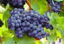 Welke blauwe druiven zijn pitloos?