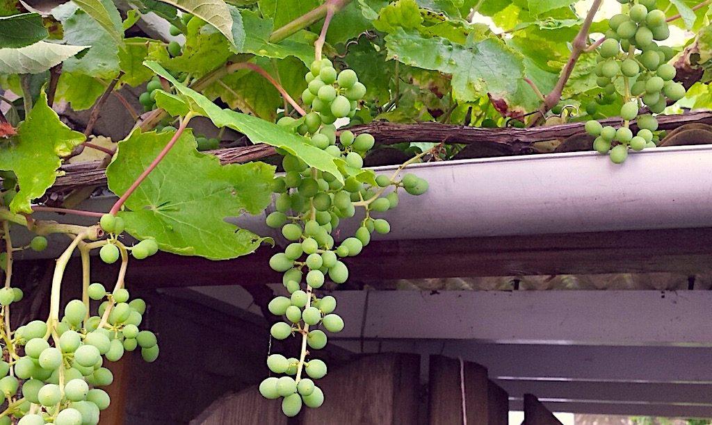 Welke witte druiven pitloos?