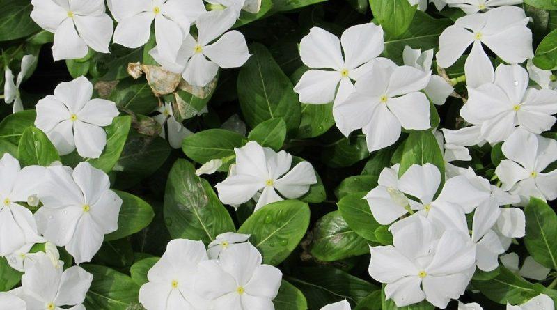 Welke bodembedekkers zijn wit? En zijn groenblijvend?